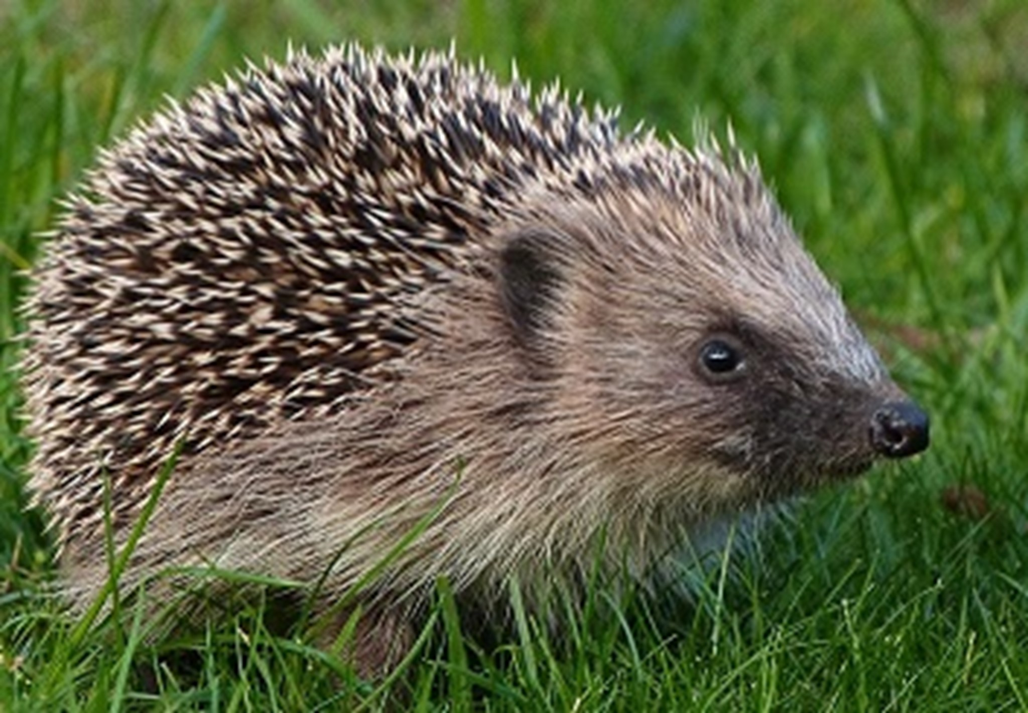 Hedgehog, November 2013 banner.jpg