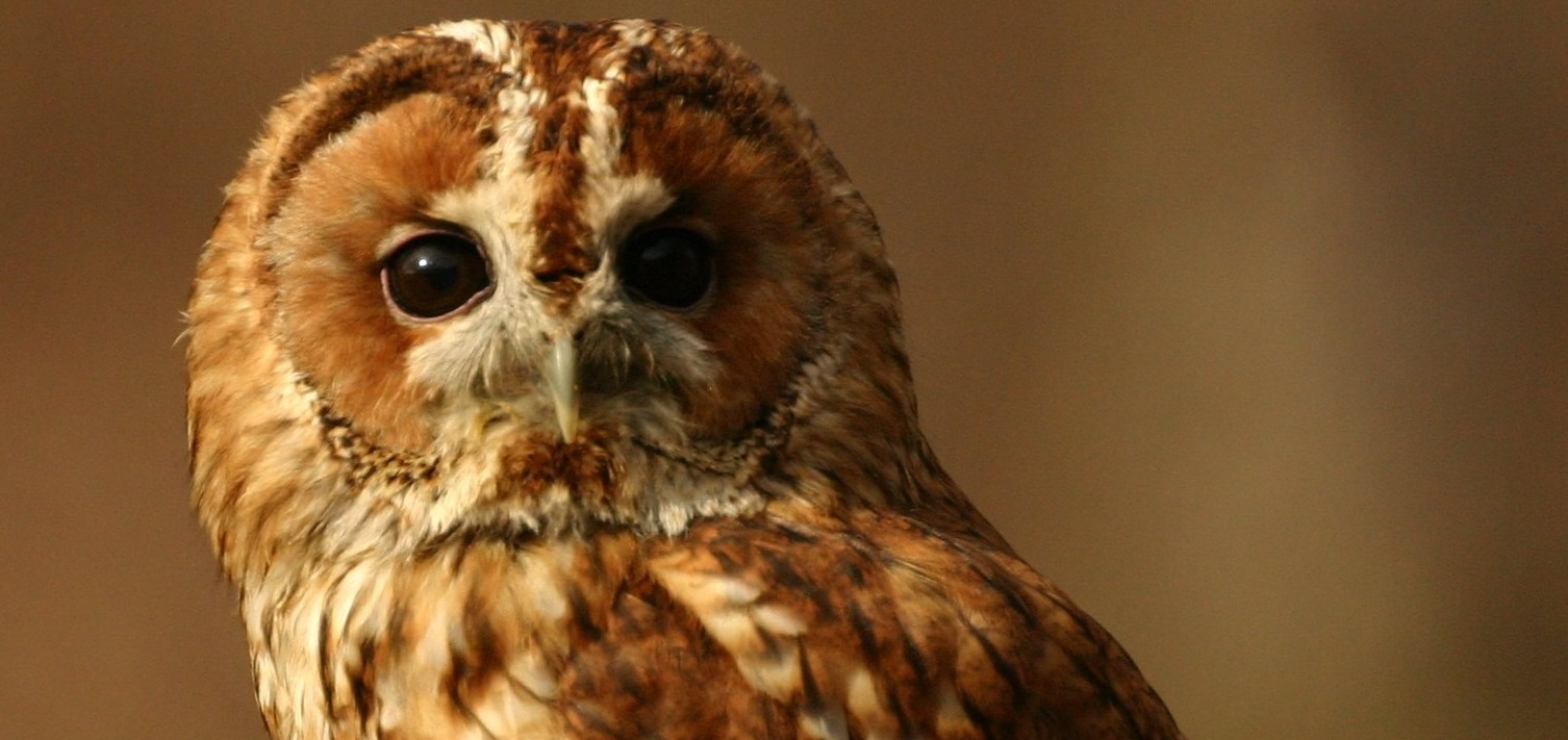 Tawny Owl close up banner.jpg (1)