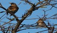Fieldfare and Redwing Bletchley December 2012 Listing.jpg