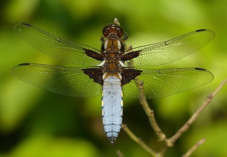 Blog listing image - dragonflies wildlife blog.jpg (1)